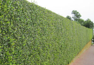 hedge-cutting-maintenance-poplar